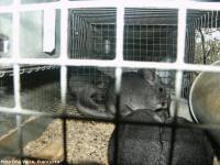 Chinchilla in fur industry - photo: One Voice [ 735.73 Kb ]