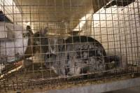 Chinchillas in fur farms 5 [ 611.33 Kb ]