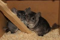 Rescued chinchillas in their homes [ 1.05 Mb ]
