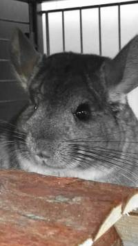 Rescued chinchillas in their homes [ 176.00 Kb ]