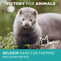 Belgija zabranila uzgoj životinja za krzno