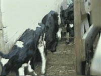 Animal transport - a veal calf stumbles and falls [ 1.12 Mb ]