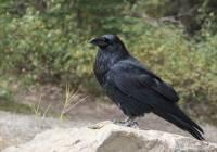 Zašto vrane napadaju ljude i kako to spriječiti