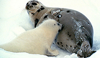 Harp seal and pup [ 3.05 Kb ]