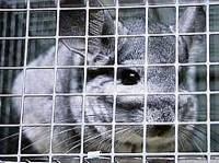 Chinchilla in a cage [ 36.84 Kb ]