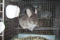 Chinchilla in a cage 2 [ 62.51 Kb ]