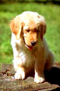 golden_retriever [ 23.16 Kb ]