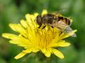 Zašto urbano pčelarstvo treba biti zabranjeno