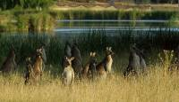 Kangaroos waiting for death - Copyright: Ray Drew [ 93.07 Kb ]