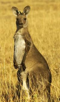 Kangaroo in stress - Copyright: Ray Drew [ 81.42 Kb ]