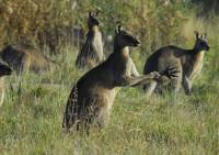 Kangaroos  - Copyright: Ray Drew [ 105.11 Kb ]