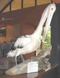 'Pete' the Pelican died at Kiama after swallowing plastic bags [ 51.67 Kb ]