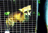 Fur - Fox in the cage [ 28.21 Kb ]