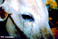 cattle_eye [ 33.59 Kb ]