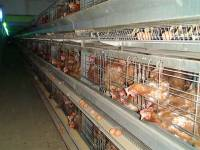 ''Enriched'' battery cages 2 [ 113.49 Kb ]