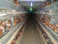 ''Enriched'' battery cages 7 [ 121.43 Kb ]