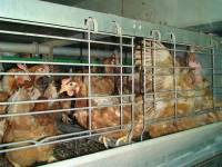 ''Enriched'' battery cages 11 [ 112.17 Kb ]