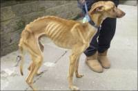 Gladan pas - izvor: action4sighthounds.wordpress.com [ 68.99 Kb ]