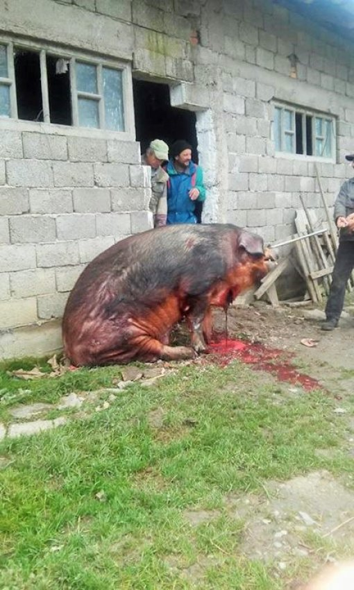 Slaughtering the pig in Sisak