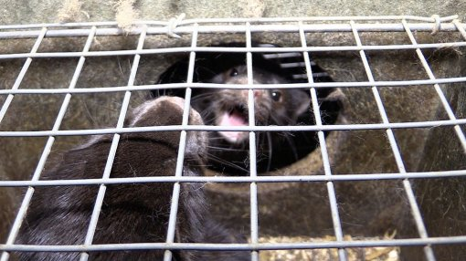 Belgium Against Fur Farming, Photo: Animal Rights NL / BE [ 155.83 Kb ]