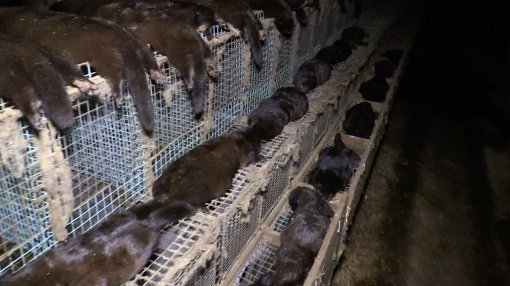 Belgium Against Fur Farming, Photo: Animal Rights NL / BE [ 121.72 Kb ]