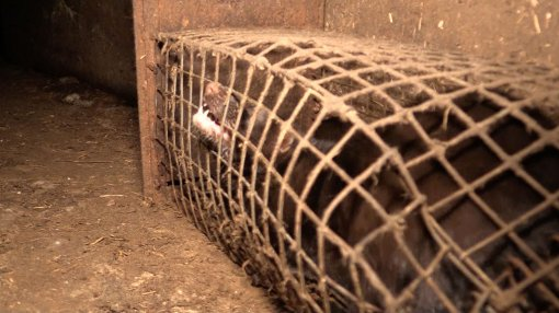 Belgium Against Fur Farming, Photo: Animal Rights NL / BE [ 132.01 Kb ]