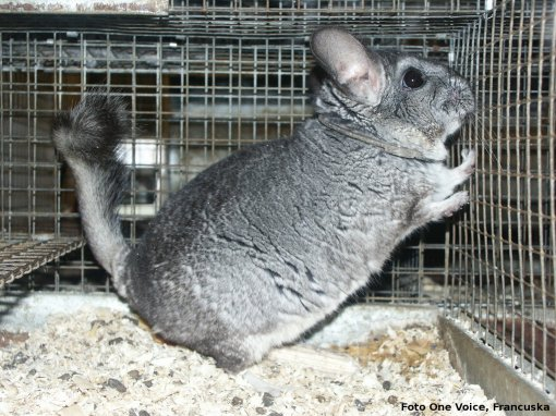 Chinchilla in fur industry-photo: One Voice [ 829.35 Kb ]