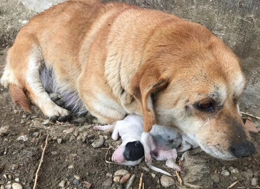 dog with dead puppies in Medjimurje county [ 351.21 Kb ]