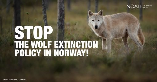 Lets save Norvegian wolves [ 765.00 Kb ]