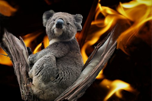 Koala Bear - fires in Australia [ 278.86 Kb ]