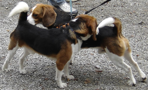 Reunion of the beagles 1