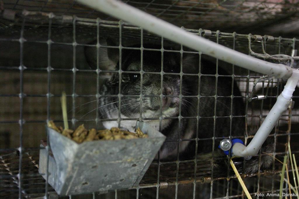 edd60ff8b90 Prijatelji životinja - 18.05.16. I veterinari daju podršku činčilama