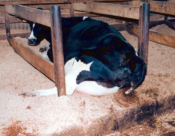 cows milk disgusting guy sanity ordinances