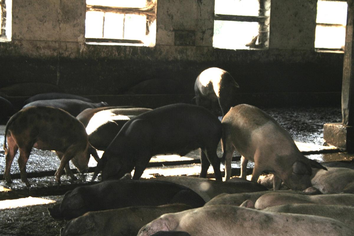 afc pig farm