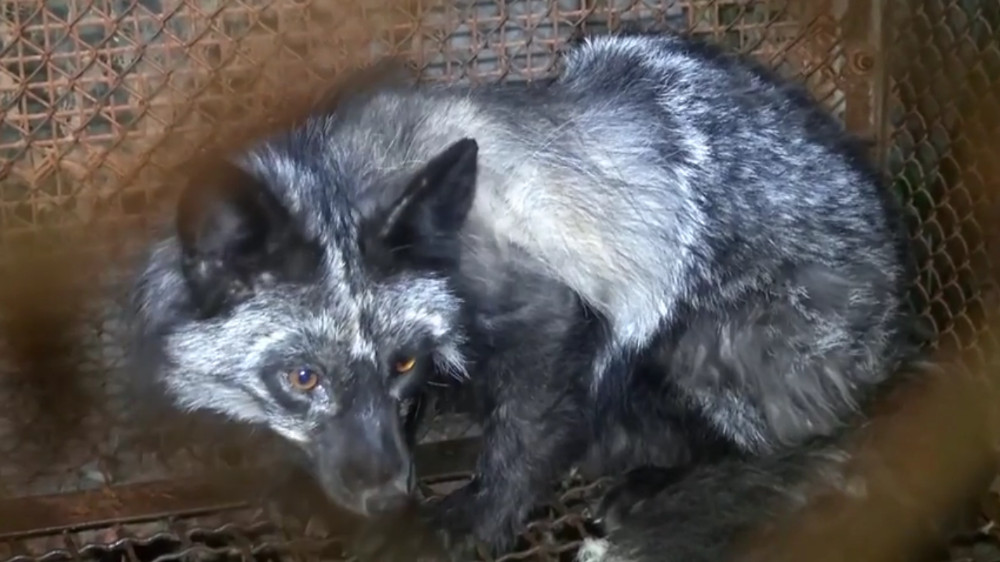 3b319af409d I Češka prema zabrani uzgoja životinja radi krzna   116.97 Kb   ...